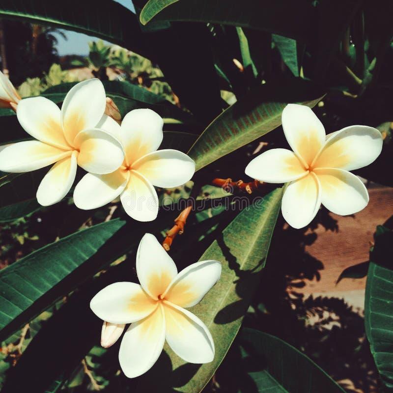 Fiore tropicale del frangipane bianco di plumeria, fiore della stazione termale di plumeria immagine stock