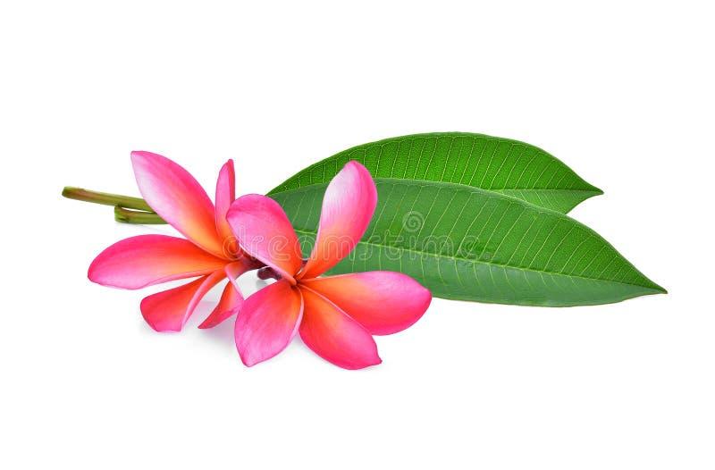Fiore tropicale del frangipane, plumeria, Lanthom, fiore di Leelawadee immagini stock libere da diritti