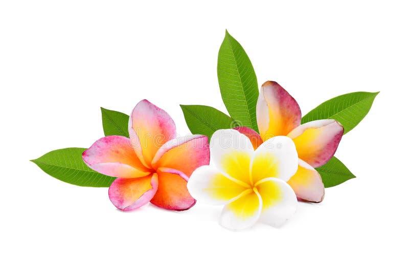 Fiore tropicale del frangipane, plumeria, Lanthom, fiore di Leelawadee immagini stock
