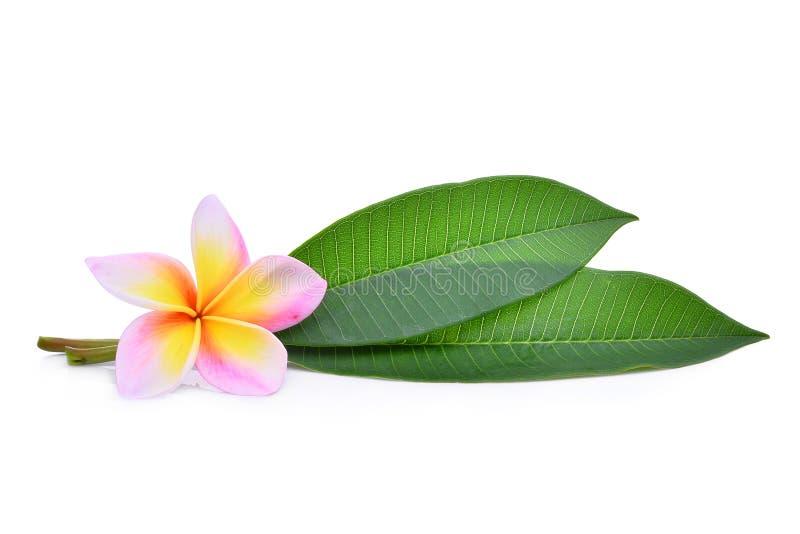 Fiore tropicale del frangipane, plumeria, Lanthom, fiore di Leelawadee con le foglie verdi isolate fotografia stock libera da diritti