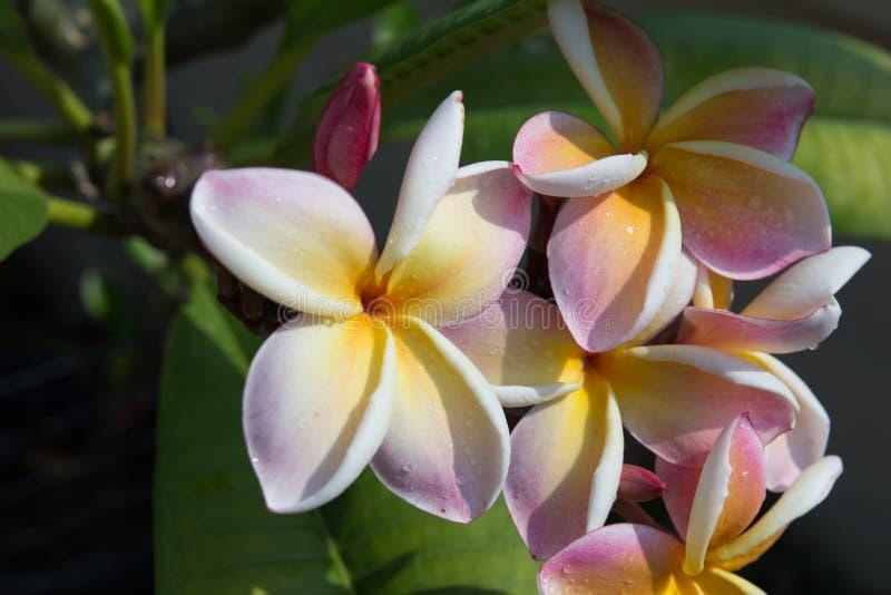 Fiore tropicale della stazione termale del Frangipani Progettazione del confine di plumeria immagini stock