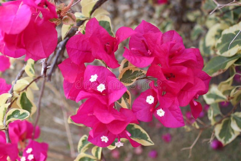 Fiore tropicale domenicano fotografia stock