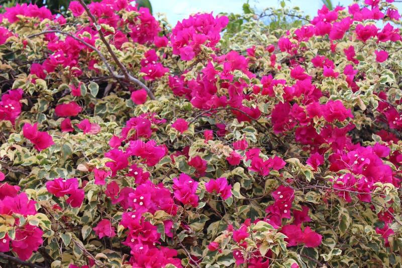 Fiore tropicale domenicano immagini stock libere da diritti