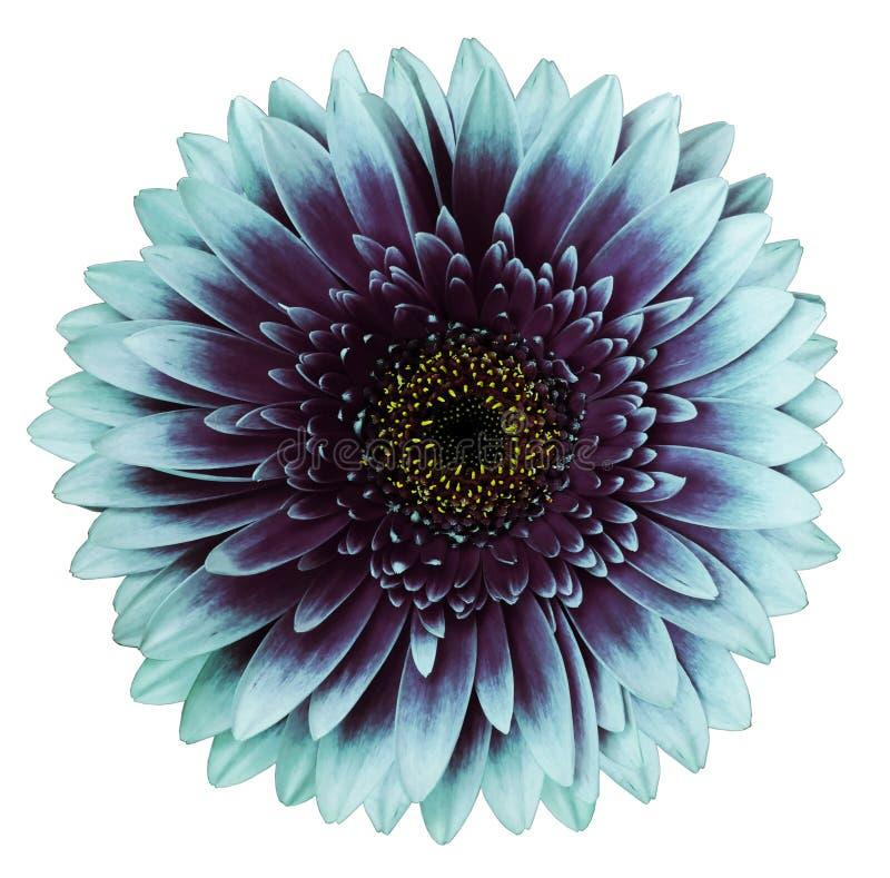 fiore Turchese-porpora della gerbera, fondo isolato bianco con il percorso di ritaglio closeup Nessun ombre Per il disegno fotografia stock