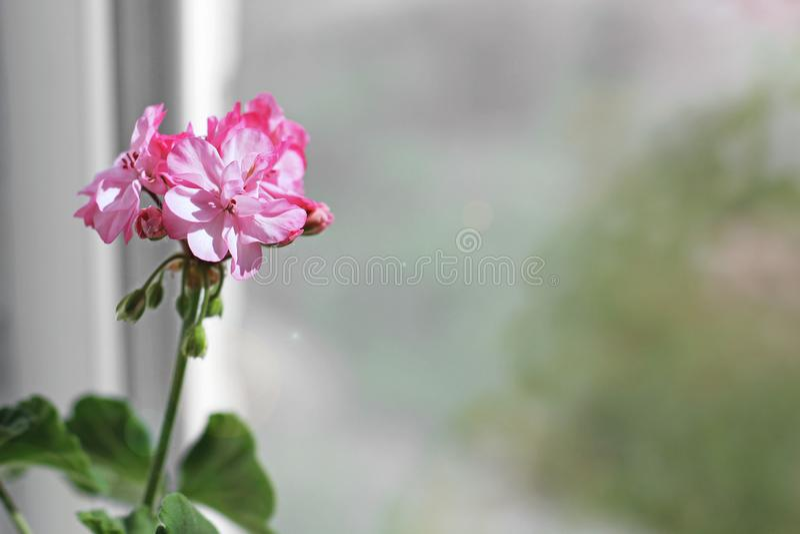 Fiore in un vaso sulla finestra immagini stock libere da diritti