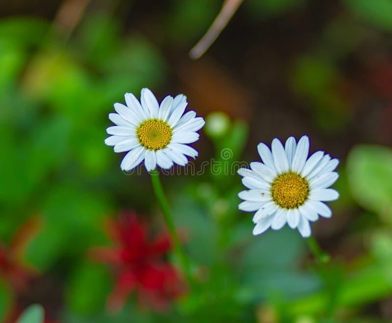 Fiore unico due della margherita bianca immagini stock libere da diritti