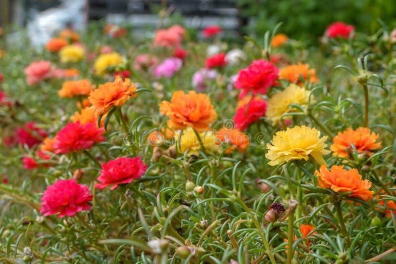Fiore variopinto di portulaca oleracea fotografia stock