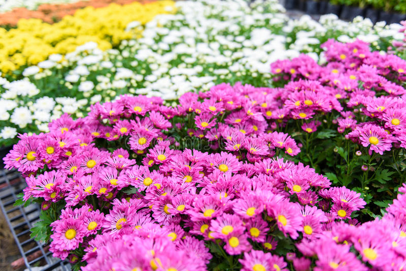 Fiore variopinto di zinnia fotografia stock