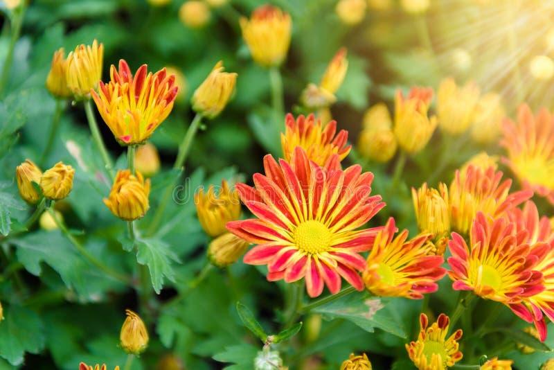 Fiore variopinto di zinnia fotografia stock libera da diritti