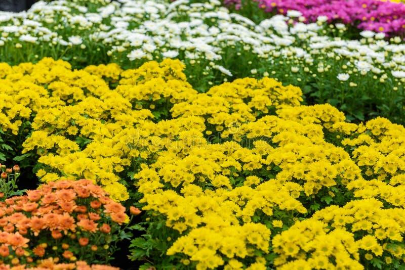 Fiore variopinto di zinnia immagine stock