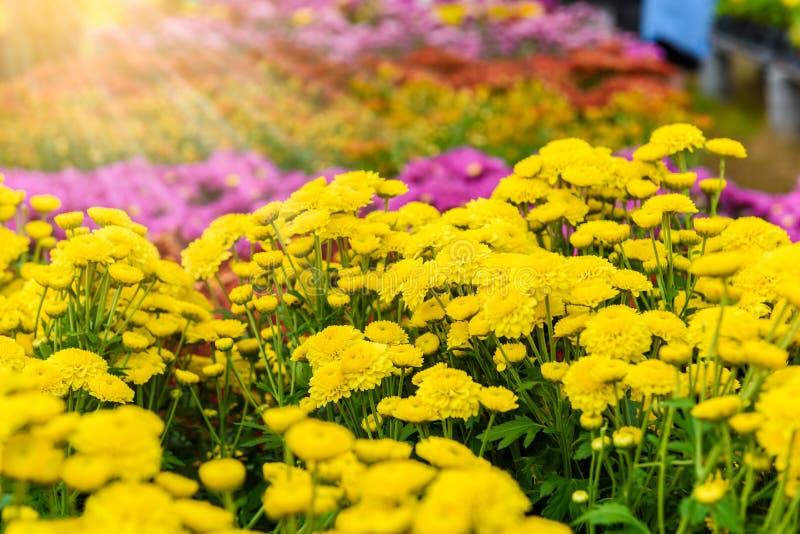 Fiore variopinto di zinnia fotografie stock libere da diritti