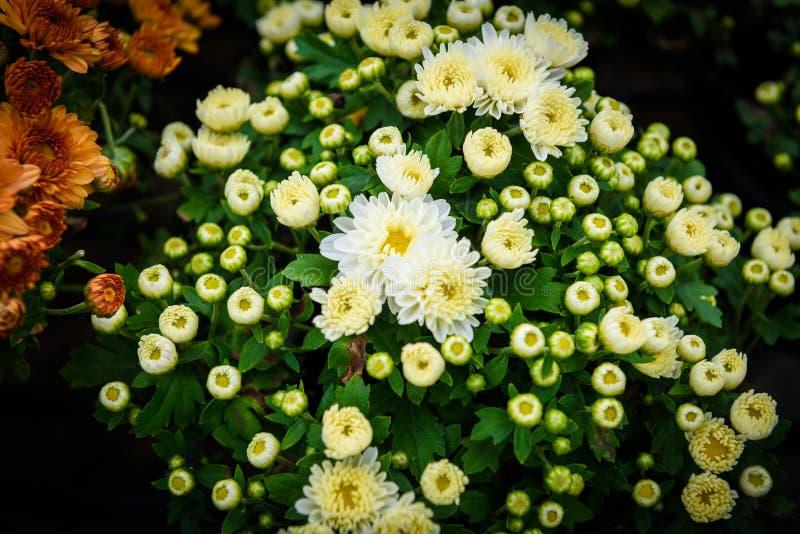 Fiore variopinto di zinnia immagini stock libere da diritti