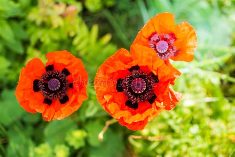 Fiore variopinto - papavero rosso illustrazione di stock