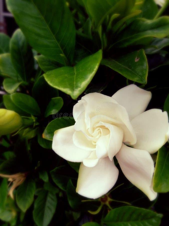 Fiore vecchio fotografie stock libere da diritti