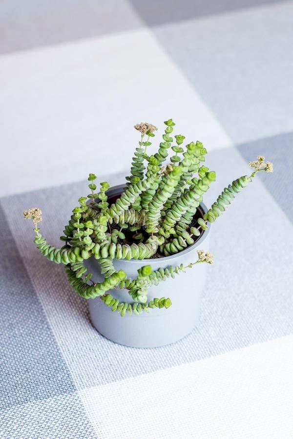Fiore verde, crassula Nealeana, pianta succulente con il tipo foglie della corda in un vaso grigio, all'interno immagine stock libera da diritti