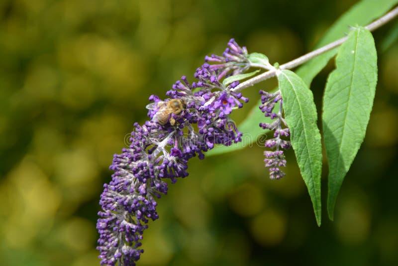 Fiore viola fotografie stock
