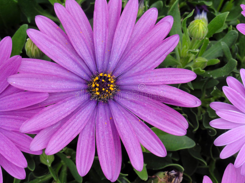 Fiore viola immagine stock