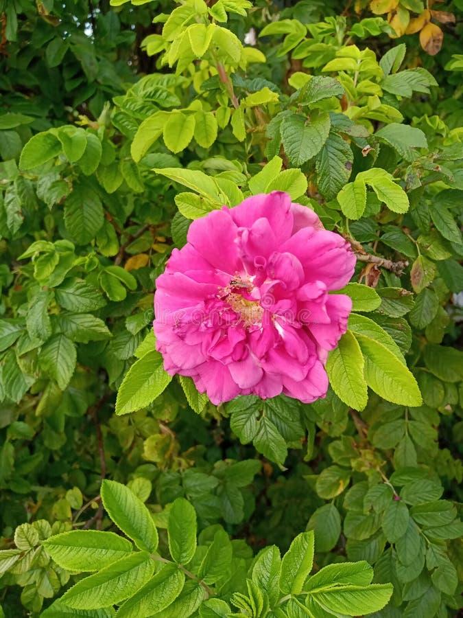 Fiore viola 2 fotografia stock libera da diritti