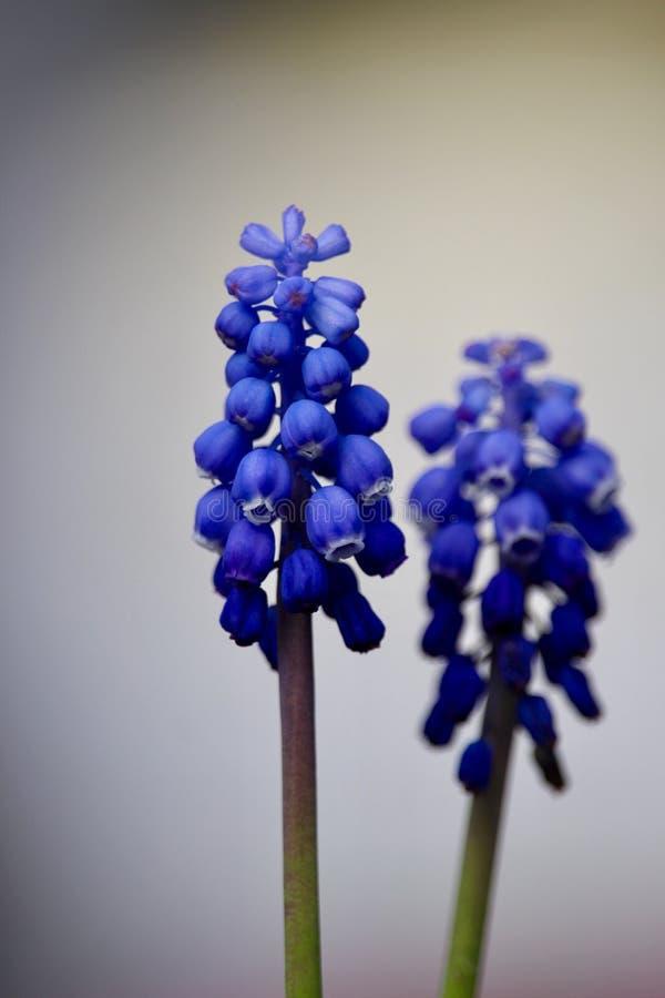 Fiore viola blu fotografia stock libera da diritti
