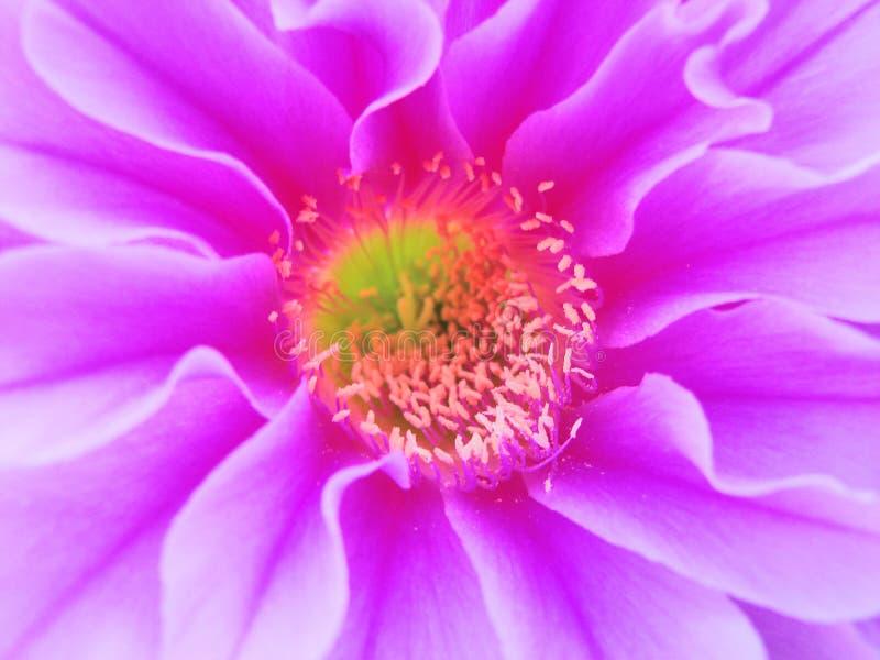Fiore viola del cactus immagine stock libera da diritti