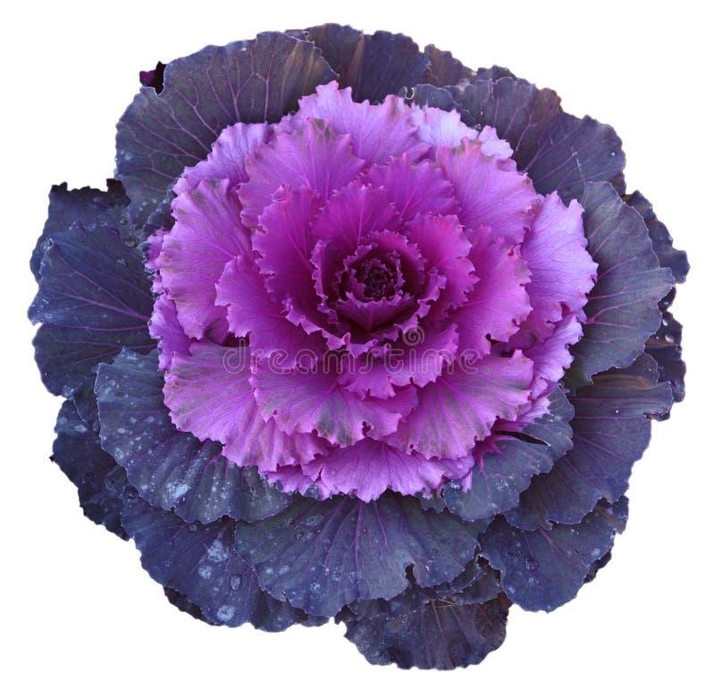 Fiore viola del cavolo fotografie stock