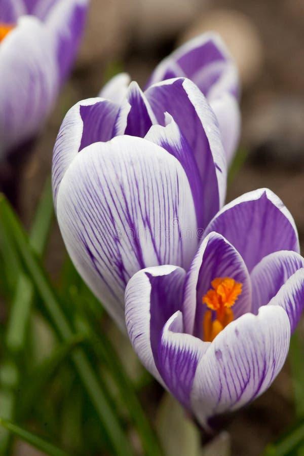 Fiore viola del croco fotografie stock