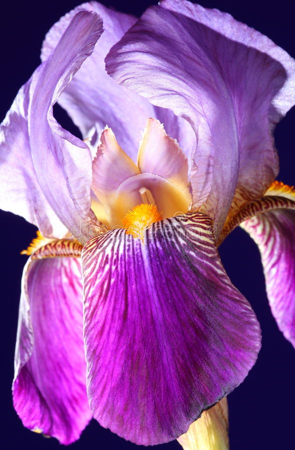 Fiore viola dell'iride in fioritura immagine stock