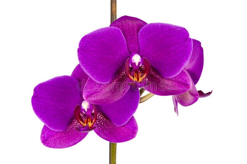Fiore viola dell'orchidea fotografia stock