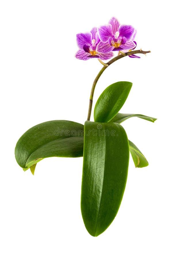 Fiore viola dell'orchidea con le foglie immagini stock