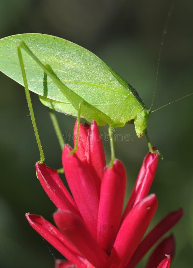 Fiore viola della cavalletta verde del katydid, Honduras fotografia stock