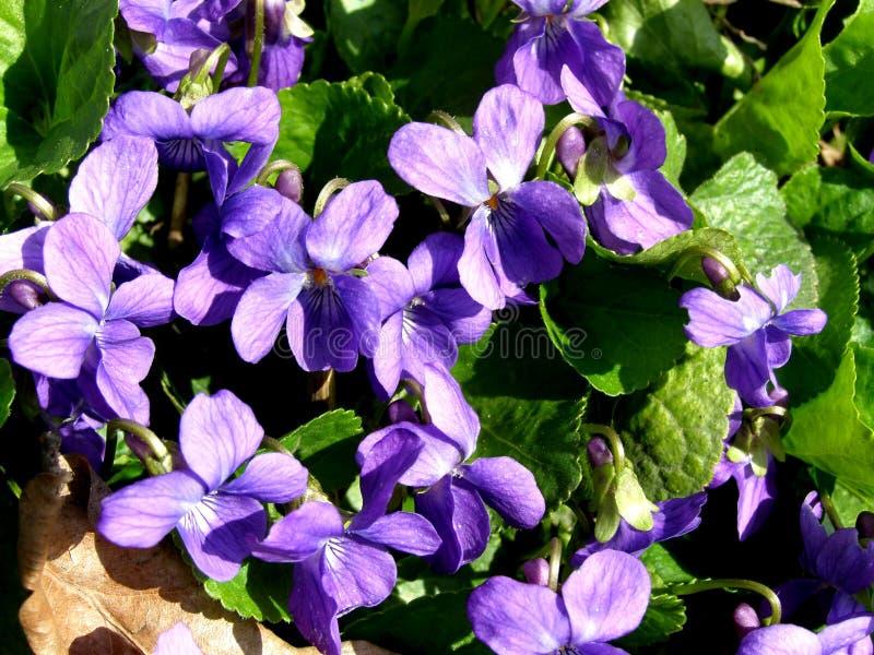 Fiore viola in natura fotografie stock libere da diritti