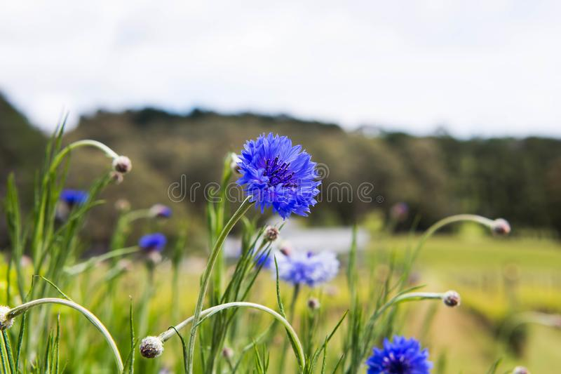 Fiore viola nel campo fotografia stock libera da diritti