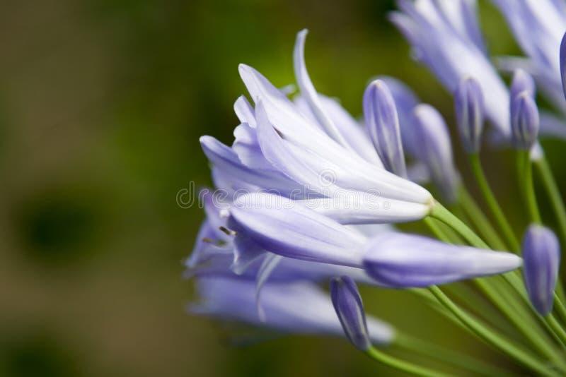 Fiore viola pacifico fotografia stock