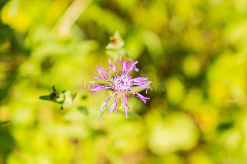 Fiore viola selvaggio immagine stock libera da diritti