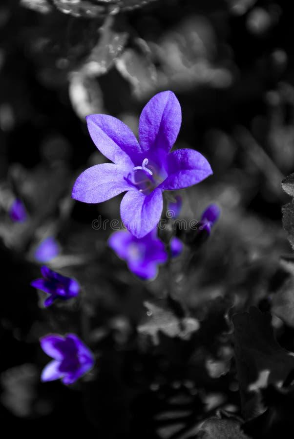 Fiore viola su una priorità bassa in bianco e nero fotografia stock