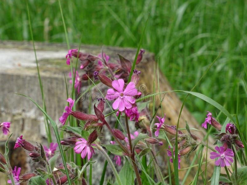 Fiore Violaceo-rosa fotografia stock