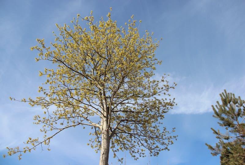 Fiorendo e giovani foglie in primavera Naturale puro fotografie stock libere da diritti