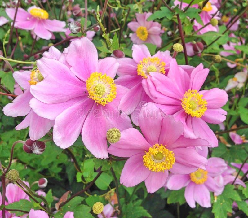 Fiori adorabili di Anemone Japonica anche conosciuti come Rosenschale immagine stock libera da diritti