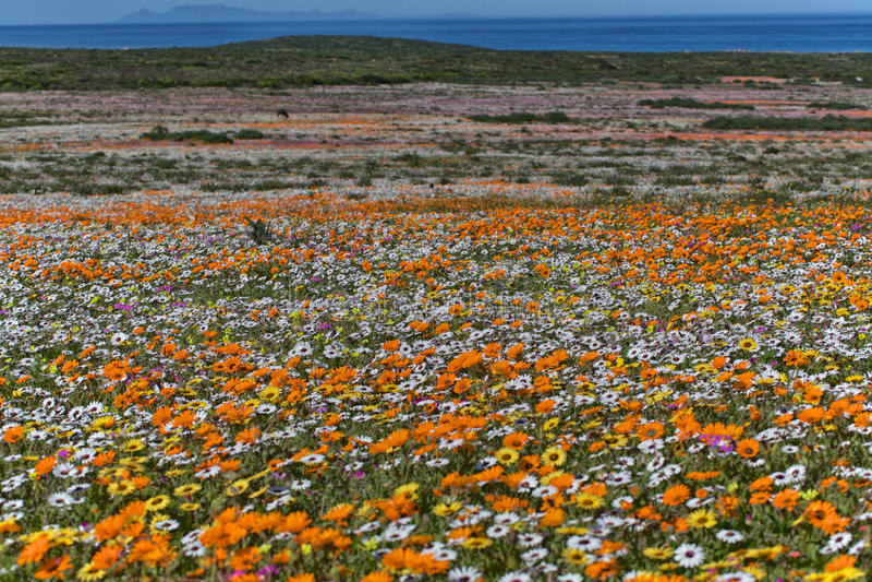 Fiori al parco nazionale di namaqua immagine stock