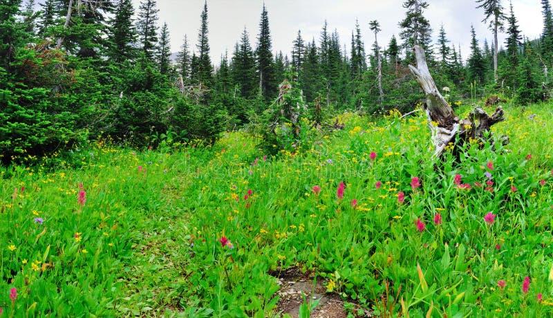 Download Fiori Alpini Selvaggi Sul Paesaggio Del Glacier National Park Immagine Stock - Immagine di flora, backpacking: 55358091