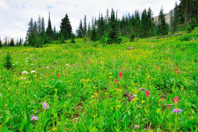 Download Fiori Alpini Selvaggi Sul Paesaggio Del Glacier National Park Immagine Stock - Immagine di alpino, fagotto: 55358109