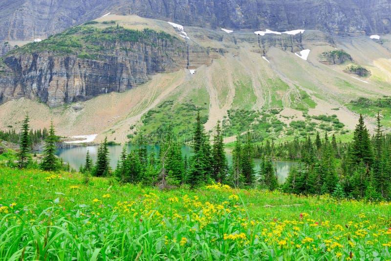 Download Fiori Alpini Selvaggi Sul Paesaggio Del Glacier National Park Fotografia Stock - Immagine di attivo, naturalizzato: 55358296