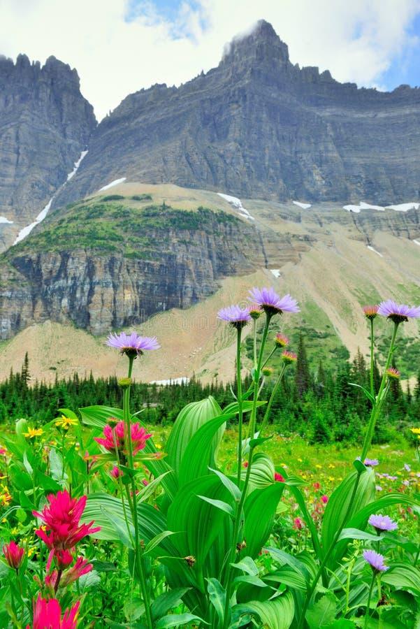 Download Fiori Alpini Selvaggi Sul Paesaggio Del Glacier National Park Fotografia Stock - Immagine di nave, accampamento: 55358434