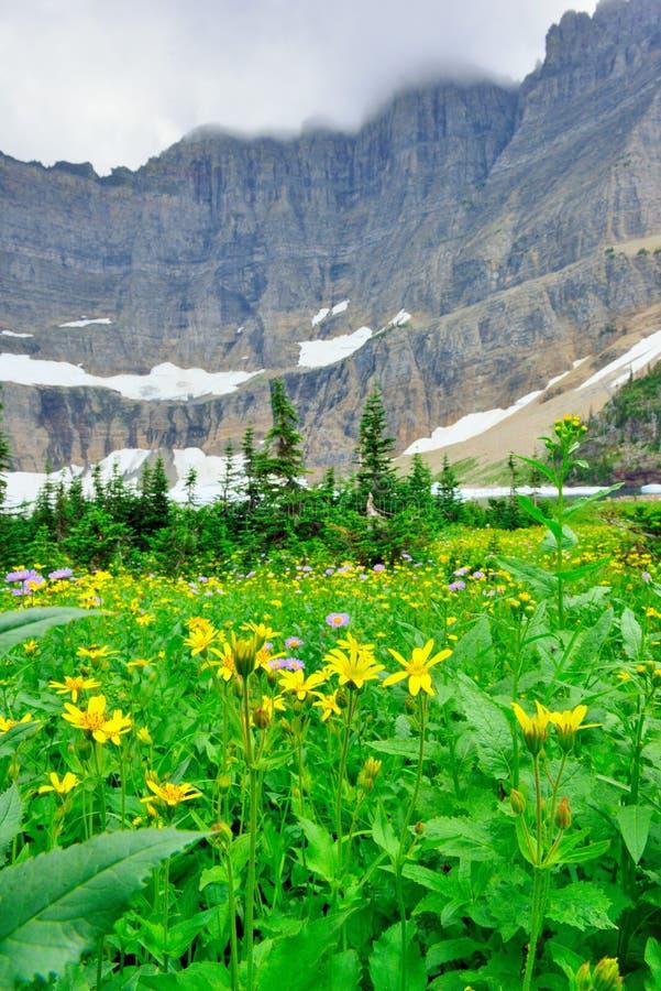 Download Fiori Alpini Selvaggi Sul Paesaggio Del Glacier National Park Fotografia Stock - Immagine di ghiacciaio, giorno: 55358604