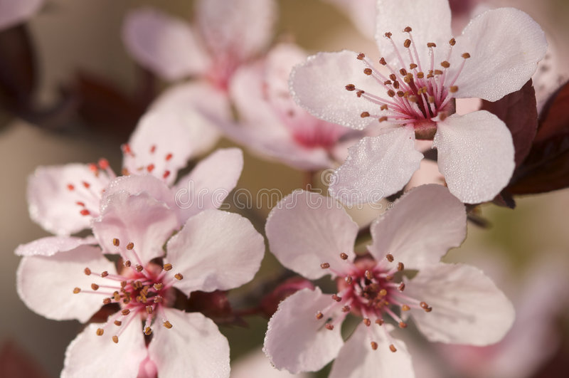 Fiori in anticipo dell'albero di colore rosa della sorgente fotografie stock libere da diritti