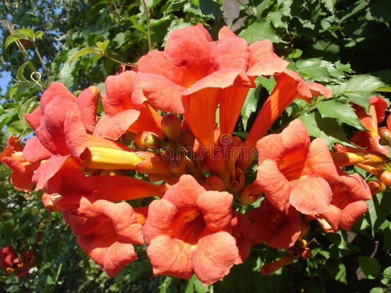 Fiori arancio cinesi e germogli della vite di tromba fotografia stock