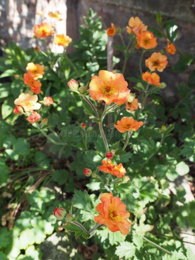Fiori arancio del Geum un giorno soleggiato immagini stock libere da diritti