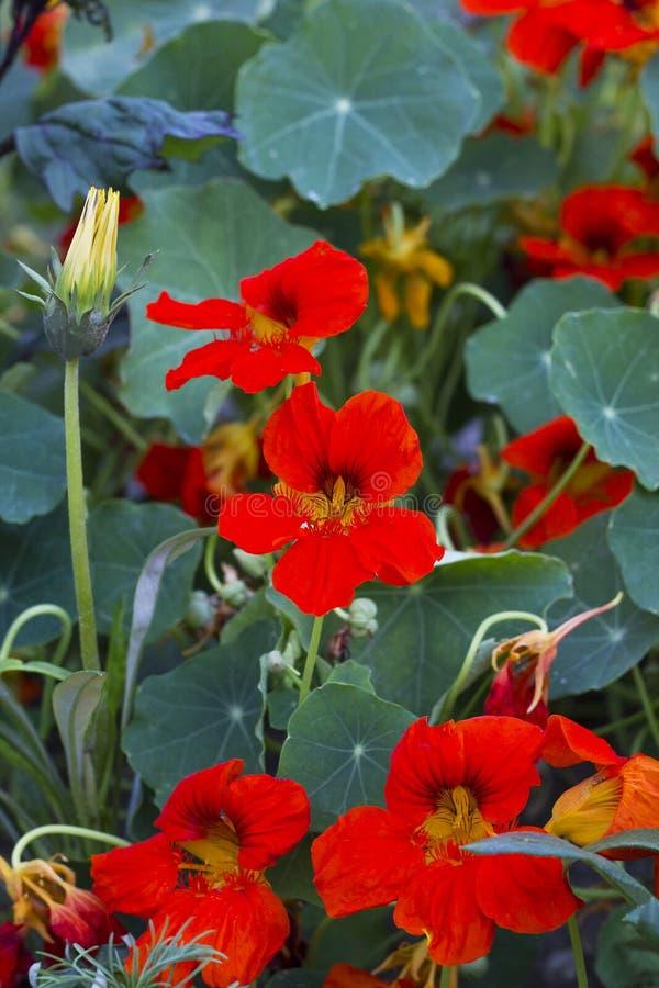 Fiori arancio del Tropaeolum del nasturzio in giardino fotografie stock