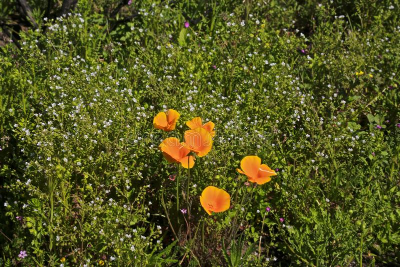 Fiori arancio di California dei papaveri immagine stock