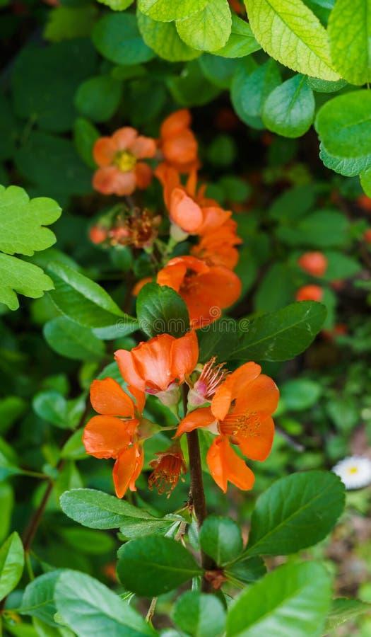 Fiori arancio di cydonia su un ramo in primavera immagini stock libere da diritti